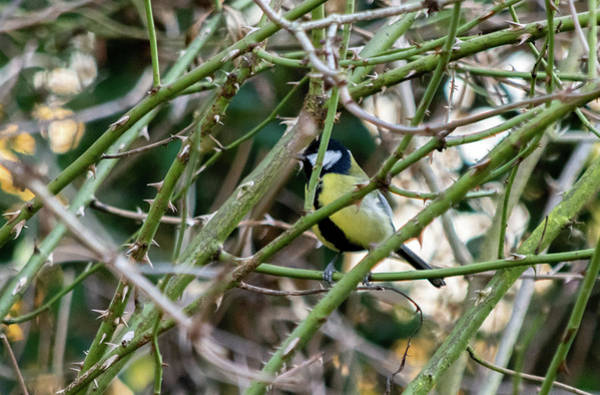 Photograph - Blue Tit Inside Thorns by Scott Lyons