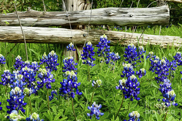 Texas Bluebonnet Digital Art - Bluebonnets 2 by Elijah Knight