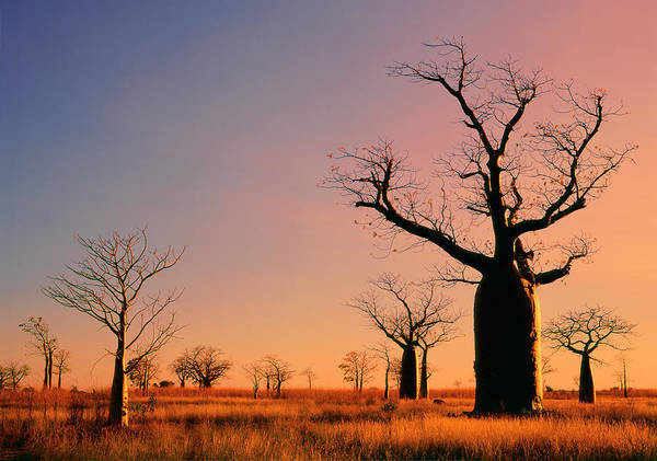 Mallow Family Photograph - Boab Trees Adansonia Gregorii Against A by Australian Scenics