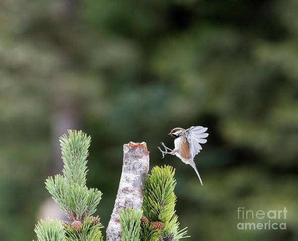 Wall Art - Photograph - Boreal Chickadee Poecile Hudsonicus by Louise Heusinkveld