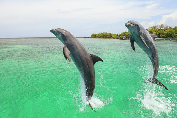 Wall Art - Photograph - Bottlenose Dolphin, Roatan, Bay by Stuart Westmorland