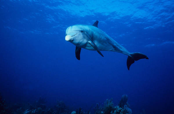 Turks And Caicos Islands Wall Art - Photograph - Bottlenose Dolphin,tursiops by Gerard Soury