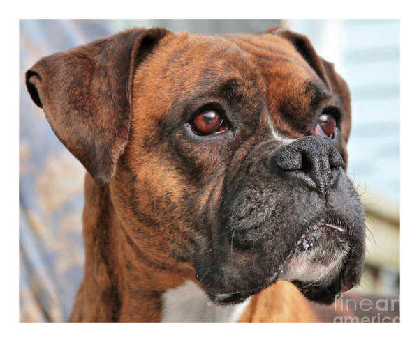 Photograph - Boxer by Debbie Stahre