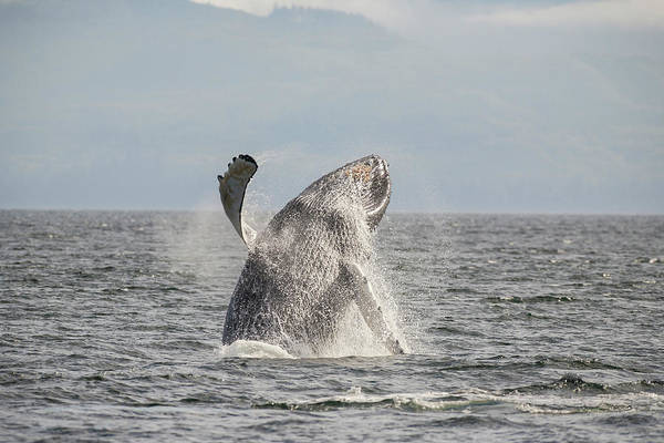 Wall Art - Photograph - Breaching Behavior Of Humpback Whale by Stuart Westmorland