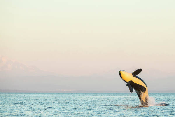 Wall Art - Photograph - Breaching Orca At Boundary Pass, Border by Stuart Westmorland