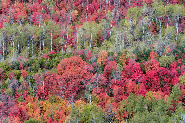 Uinta Photograph - Brilliant Fall Foliage Near Midway by Howie Garber