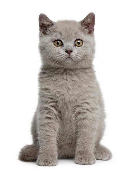 Staring Photograph - British Shorthair Kitten by Life On White