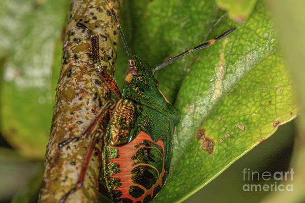 Photograph - Bronze Shield Bug by Brian Roscorla
