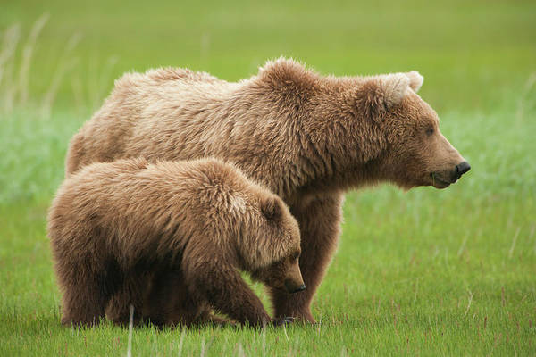 Photograph - Brown Bears, Katmai National Park by Mint Images/ Art Wolfe