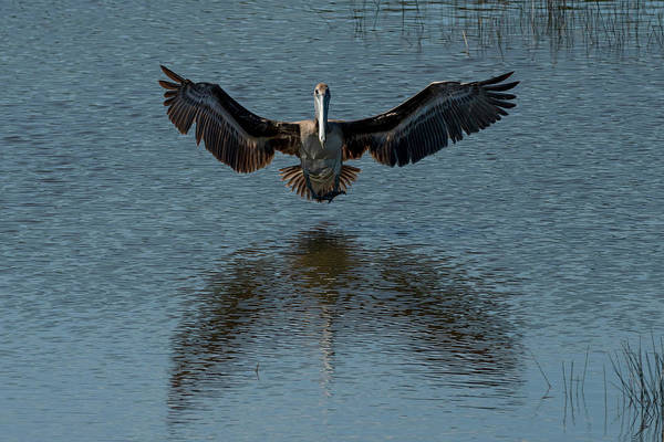 Photograph - Brown Pelican Landing And Taking Off Looking For Fish by Dan Friend