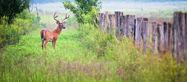 The Great Smoky Mountains Wall Art - Photograph - Buck Deer In Cades Cove Area Of The by Wbritten