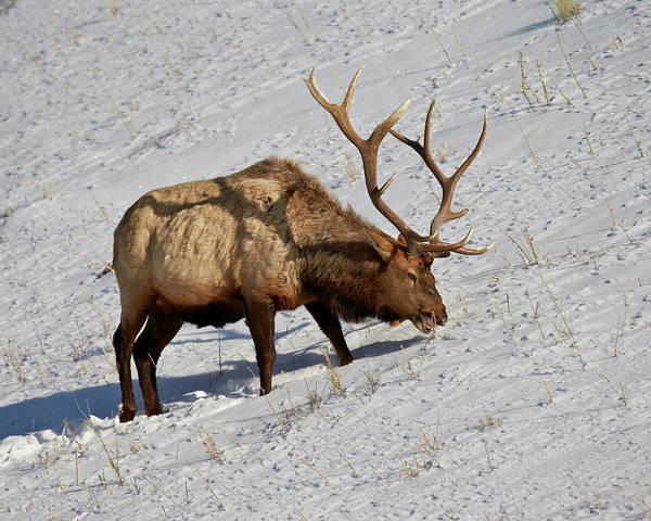 James Brown Photograph - Bull Elk Cervus Canadensis Feeding In by James Hager / Robertharding