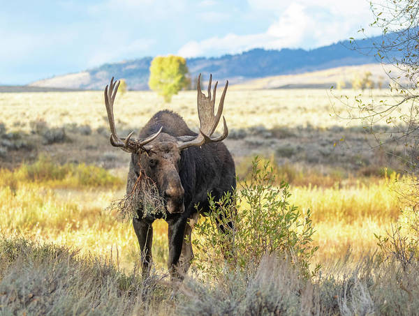Photograph - Bull Moose by Michael Chatt