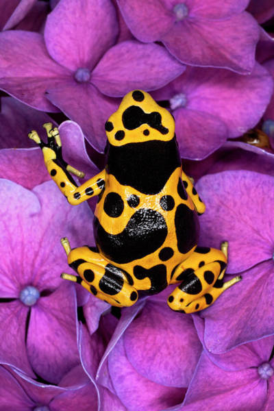 Wall Art - Photograph - Bumble Bee Dart Frog by Adam Jones