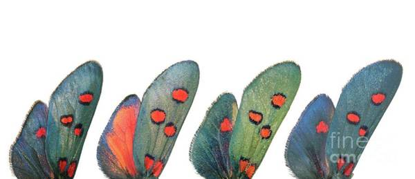 Wall Art - Photograph - Burnet Moth Wings by Martinez Clavel