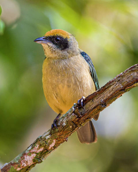 Photograph - Burnished Buff Tanager La Palmita Casanare Colombia by Adam Rainoff