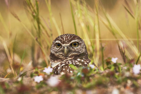 Wall Art - Photograph - Burrowing Owl, Athene Cunicularia, Cape by Adam Jones