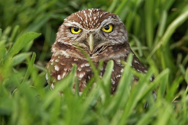Wall Art - Photograph - Burrowing Owl, Cape Coral, Florida by Adam Jones