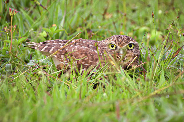 Photograph - Burrowing Owl Hato Barley Tauramena Casanare Colombia by Adam Rainoff