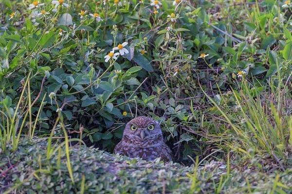 Photograph - Burrowing Owl by Paul Schultz
