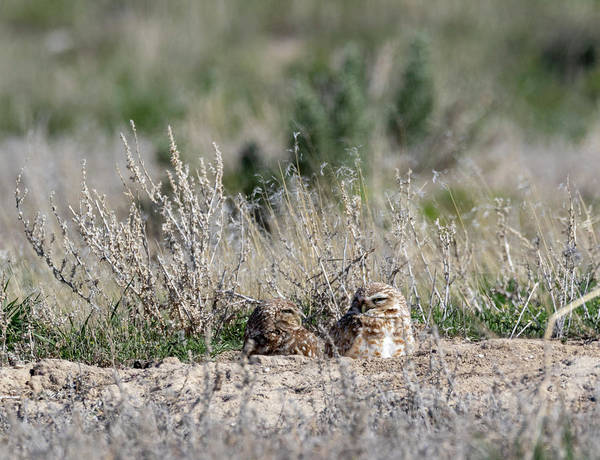 Photograph - Burrowing Owls by Michael Chatt