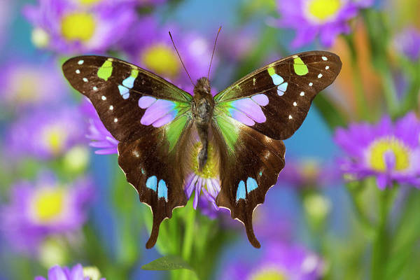 Wall Art - Photograph - Butterfly Graphium Weiski by Darrell Gulin