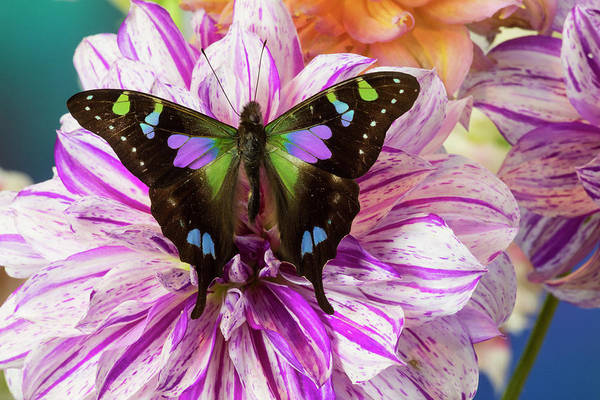 Wall Art - Photograph - Butterfly Graphium Weiski, The Purple by Darrell Gulin