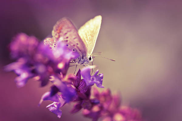 Purple Sage Photograph - Butterfly On Wildflower by Jasmina007