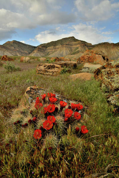 Photograph - Cacti Blooms At Book Cliffs by Ray Mathis