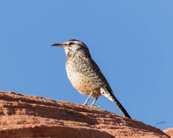 Wall Art - Photograph - Cactus Wren by Jurgen Lorenzen