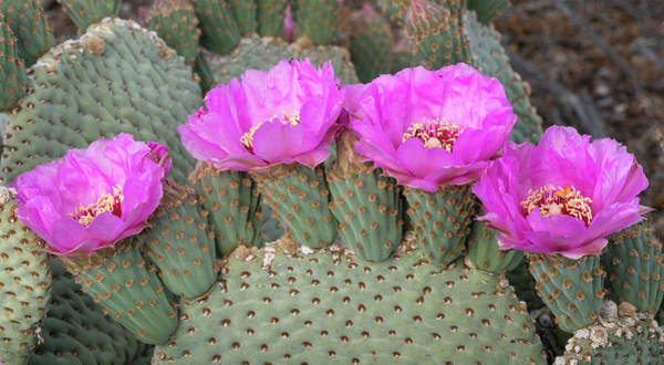 Wall Art - Photograph - California Beaver Tail Cactus, Opuntia by Brenda Tharp