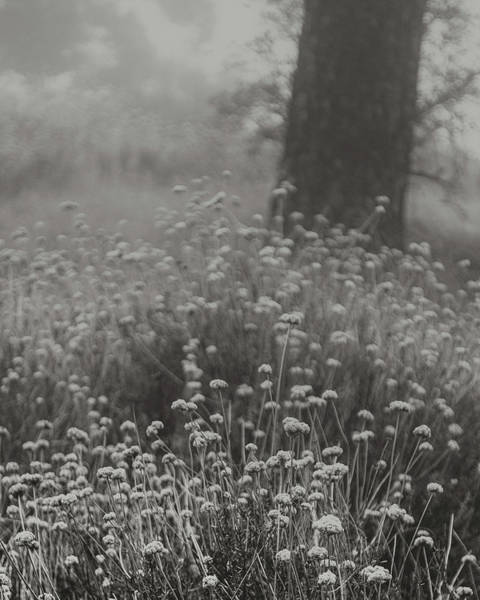 Laguna Mountains Photograph - California Buckwheat by Joseph Smith