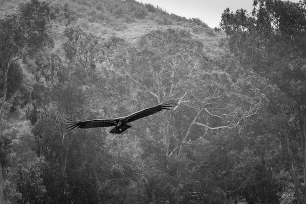 Photograph - California Condor In Flight II Bw by David Gordon