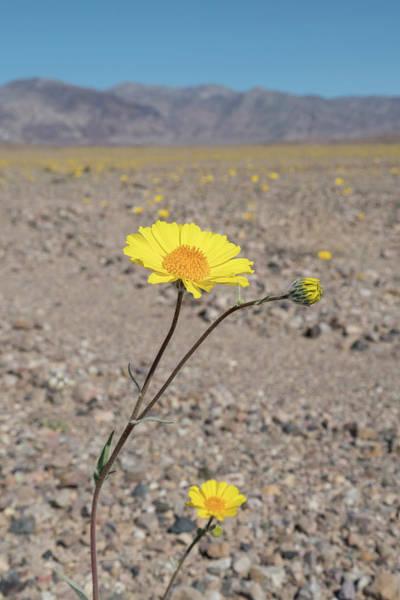 Wall Art - Photograph - California Desert Sunflowers Reach by Brenda Tharp