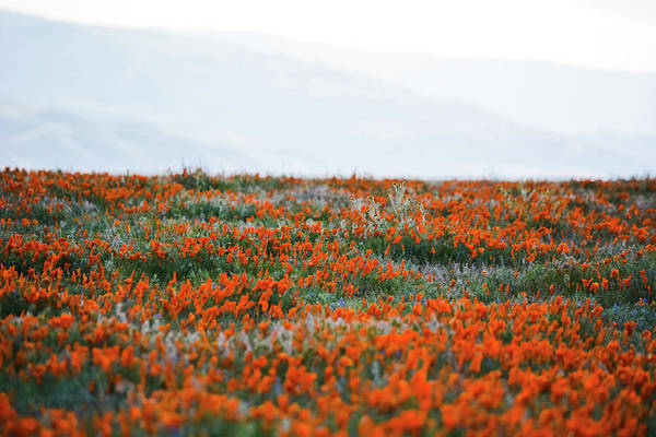 Photograph - California Poppy Reserve by Kyle Hanson