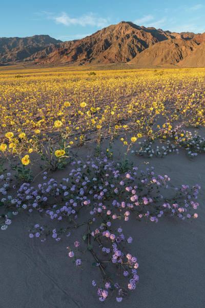 Wall Art - Photograph - California Sand Verbena And Desert by Brenda Tharp