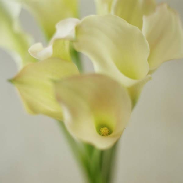Calla Photograph - Calla Lilies by Jeanene Scott