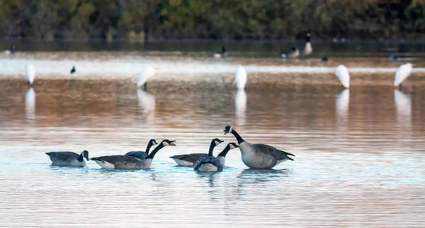 Photograph - Canada Geese 8054-122718-1 by Tam Ryan