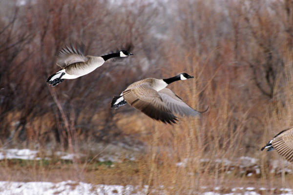 Art In Canada Photograph - Canada Goose, Branta Canadensis by Art Wolfe