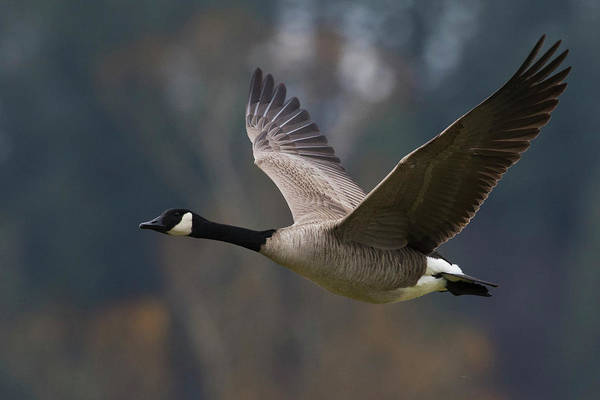 Wall Art - Photograph - Canada Goose Flying by Ken Archer