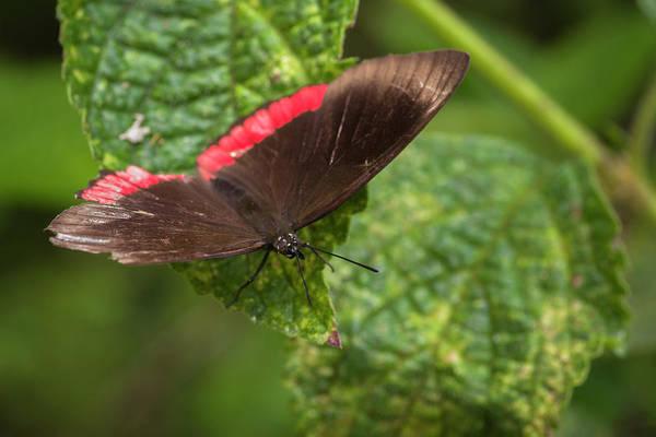 Photograph - Cattleheart Butterfly Jardin Botanico Del Quindio Calarca Colomb by Adam Rainoff