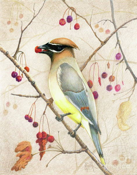 Drawing - Cedar Waxwing by Marilyn Smith
