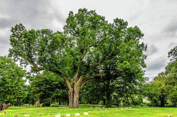 Photograph - Centennial Oak, Salem Oak Tree by Louis Dallara