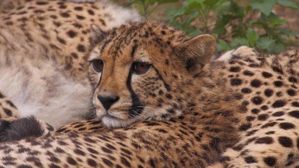 Photograph - Cheetah Family Lying Close Together by Eye to Eye Xperience