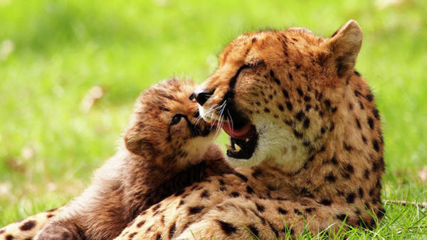 Photograph - Cheetah Mother With Cub by Eye to Eye Xperience