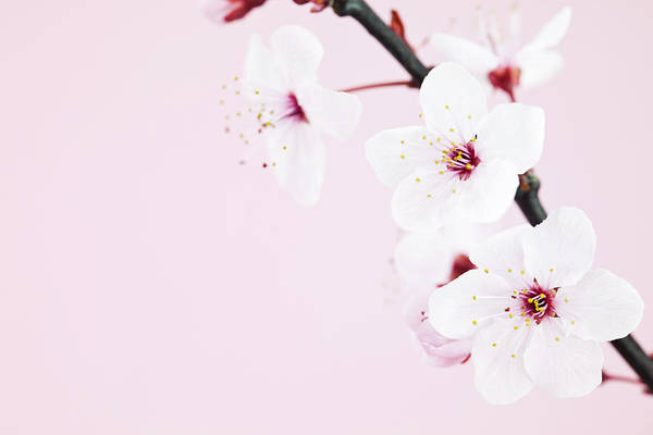 Fragility Photograph - Cherry Blossom Macro by Catlane