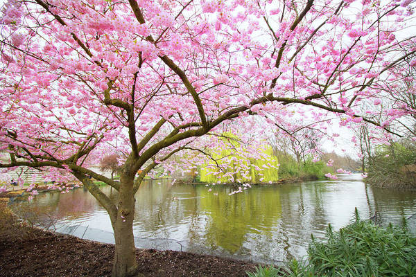 Wall Art - Photograph - Cherry Blossom by Martin Newman