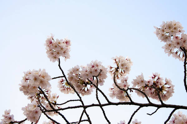 Japan Photograph - Cherry Blossom On Branch by Japan From My Eye