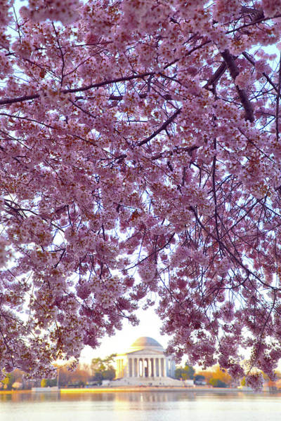 Wall Art - Photograph - Cherry Blossom Tree by Mitch Cat
