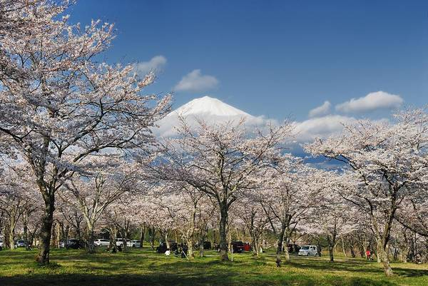 Blossom Photograph - Cherry Blossoms And Mount Fuji by Lucia Terui